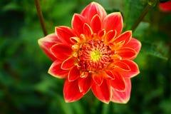D?lia na flor imagem de stock