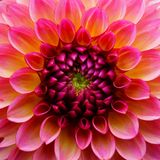 D?lia na flor foto de stock royalty free