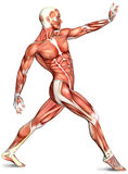 3d male body anatomy Stock Image