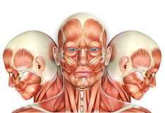 3d Male Face Muscles Anatomy with side views Stock Image