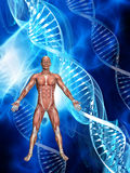 3D male figure with muscle map on medical DNA background. 3D male figure with muscle map on a medical background with DNA strands Royalty Free Stock Photo