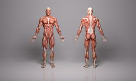 3D Render :  an illustration of a male model with muscle tissues texture. A 3D male model with heavy tone of  muscle tissues shader skin texture standing in the Royalty Free Stock Photo