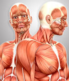 3d male muscular anatomy with side view Royalty Free Stock Photo