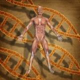3D mannelijk medisch cijfer aangaande een grunge medische achtergrond met DNA s Stock Fotografie