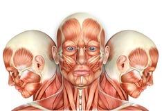 3d Mannelijke Anatomie van Gezichtsspieren met zijaanzichten Stock Afbeelding