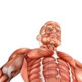 3d Mannelijke mening van de anatomiebodem Royalty-vrije Stock Foto's