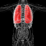 3D medical illustration of the human lung Stock Photos