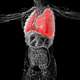 3D medical illustration of the human lung Stock Image