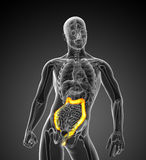 3D medical illustration of the large intestine Stock Photography