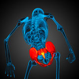 3D medical illustration of the pelvis bone Stock Images