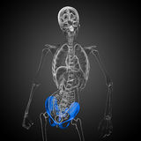 3D medical illustration of the pelvis bone Stock Photo