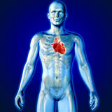 3D medical image of a male figure with heart highlighted Royalty Free Stock Photo