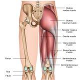 3d medische illustratie van been achterspieren op witte achtergrond vector illustratie