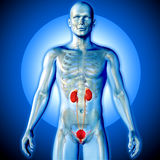3D medyczny wizerunek męska postać z urinary systemem ilustracja wektor