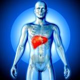 3D medyczny wizerunek męska postać z wątróbką podkreślającą Obrazy Stock