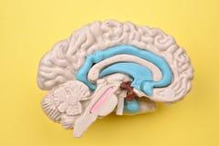 3D menselijke hersenen modeldetails van binnenuit op gele achtergrond Stock Foto