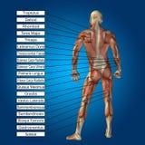 3D menselijke mannelijke anatomie met spieren en tekst Stock Afbeelding