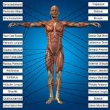 3D menselijke mannelijke anatomie met spieren en tekst Royalty-vrije Stock Afbeelding