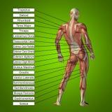 3D menselijke mannelijke anatomie met spieren en tekst Royalty-vrije Stock Foto's
