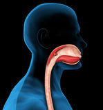 3d Mouth and esophagus. Mouth and esophagus for medical explanation on black background Stock Photography