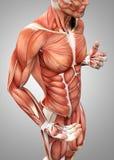 3d męska anatomia pokazuje półpostać Zdjęcia Stock