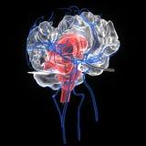 3d odpłacał się medically ścisłą ilustrację móżdżkowa anatomia Obrazy Royalty Free
