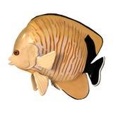 3D Odpłaca się Blacktail Angelfish na bielu Zdjęcia Stock
