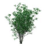 3D Odpłaca się Bush oleanderu na bielu Zdjęcie Royalty Free