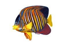 3D Odpłaca się Królewskiego Angelfish na bielu Fotografia Royalty Free