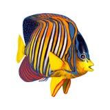 3D Odpłaca się Królewskiego Angelfish na bielu Zdjęcia Royalty Free