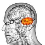 3d odpłacają się medyczną ilustrację ludzkiego mózg cerebrum ilustracja wektor