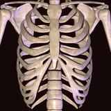 3d odpłacają się przedstawiać mięsień strukturę ciało ludzkie Obraz Royalty Free