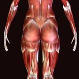 3d odpłacają się przedstawiać mięsień strukturę ciało ludzkie Obraz Stock