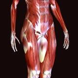 3d odpłacają się przedstawiać mięsień strukturę ciało ludzkie Royalty Ilustracja