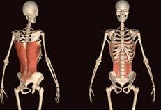 3d odpłacają się przedstawiać mięsień strukturę ciało ludzkie Zdjęcia Stock