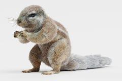 3D Odpłacają się przylądek Squirrrel royalty ilustracja