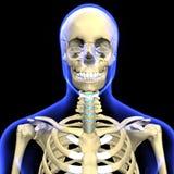 3d odpłacająca się ilustracja ludzka czaszka Obrazy Stock