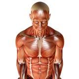 3d odpłacają się męska mięśniowa anatomia Obrazy Stock
