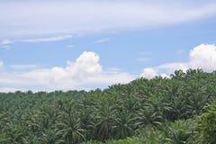 dłonie oleju plantacji Zdjęcia Royalty Free