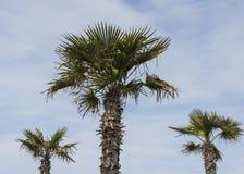 dłonie trzy drzewa Zdjęcie Stock