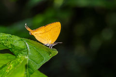 D'orange de terrain communal papillon yamfly sur la feuille verte Photo stock