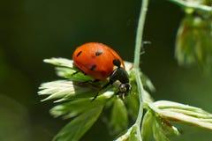 3d ostrza trawy wizerunku ladybird Obraz Royalty Free