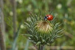 3d ostrza trawy wizerunku ladybird Fotografia Royalty Free