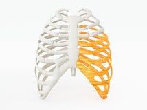 3d printed rib cage Stock Image