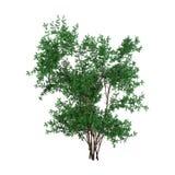 3D que rende Bush Rosa Majalis no branco Imagem de Stock Royalty Free