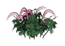 3D que rende flores de Lamprocapnos no branco Imagens de Stock