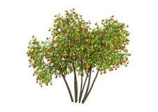 3D que rende Rowan Trees no branco Fotografia de Stock Royalty Free