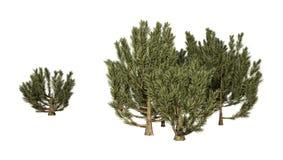 3D que rinde los árboles verdes de Mulga en blanco Fotos de archivo libres de regalías