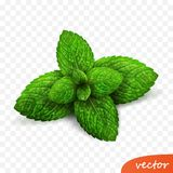 3d realistic isolated vector sprout of fresh mint leaves with drops of dew royalty free illustration
