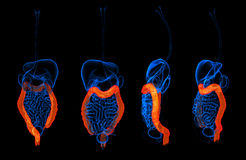 3d rendant le gros intestin d'appareil digestif humain Photographie stock
